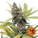 Honey B (Barney's Farm) feminized