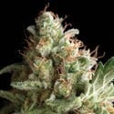 Auto Pipi (Pyramid Seeds) feminized