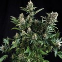 Auto White Widow (Pyramid Seeds) feminized