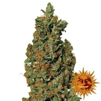 Red Diesel (Barney's Farm) feminized