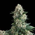 Auto New York City (Pyramid Seeds) feminized