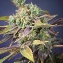 Txomango (Genehtik Seeds) femminizzata