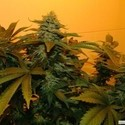 Zuri Widow (Genehtik Seeds) feminized