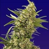 AK Automatic (Spliff Seeds) feminisiert