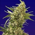 AK Automatic (Spliff Seeds) feminized
