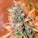 Blue Medi Kush (Spliff Seeds) feminisiert