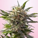 Chrystal White (Spliff Seeds) feminisiert