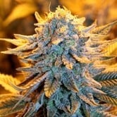 Dutch Automatic (Spliff Seeds) feminized