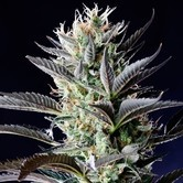 Dutch Blue Automatic (Spliff Seeds) feminisiert