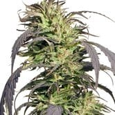 Gold Rush Outdoor (Spliff Seeds) feminized