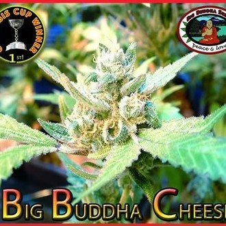 Big Buddha Cheese (Big Buddha Seeds) feminisiert