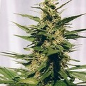 Polm Gold Outdoor (Spliff Seeds) feminisiert