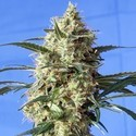 Snow White (Spliff Seeds) feminisiert