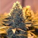 Spliff Cheese (Spliff Seeds) feminisiert