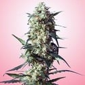 Spliff's Strawberry (Spliff Seeds) feminisiert