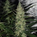 Super Skunk (Spliff Seeds) feminisiert