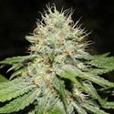 Sweet 'n' Sour Indoor (Spliff Seeds) feminized