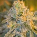 Sweet 'n' Sour Outdoor (Spliff Seeds) feminisiert