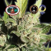 Blue Cheese (Big Buddha Seeds) femminizzato