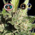 Blue Cheese (Big Buddha Seeds) feminisiert
