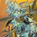 White Widow (Spliff Seeds) feminisiert