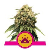 Special Queen 1 (Royal Queen Seeds) feminisiert
