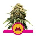 Special Queen 1 (Royal Queen Seeds) femminizzata