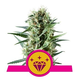 Special Kush 1 (Royal Queen Seeds) femminizzata