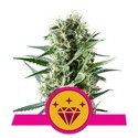 Special Kush 1 (Royal Queen Seeds) feminisiert