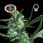 Cheesus (Big Buddha Seeds) femminizzato