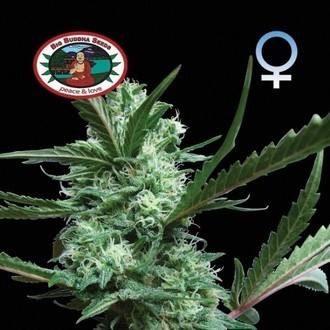 Cheesus (Big Buddha Seeds) feminisiert