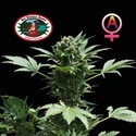 Automatic (Big Buddha Seeds) femminizzato