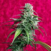 Juanita La Lagrimosa (Reggae Seeds) femminizzata