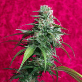 Juanita La Lagrimosa (Reggae Seeds) feminized