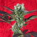 Kalijah (Reggae Seeds) Regolare