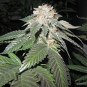 Julius Caesar (Cali Connection) feminized