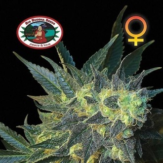 Chiesel (Big Buddha Seeds) feminisiert