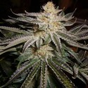 Original Sour Diesel (Cali Connection) feminized