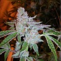 Buddha Tahoe OG (Cali Connection) feminisiert