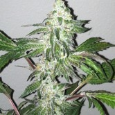 Girl Scout Cookies (Cali Connection) feminisiert