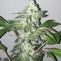 Girl Scout Cookies (Cali Connection) femminizzata