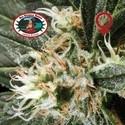 G Bomb (Big Buddha Seeds) feminisiert