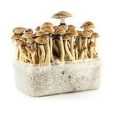 "100% Mycelium Kit ""Brazil"" (Supa Gro)"