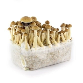 Magic Mushrooms | 100% Mycelium Kit | Fast Delivery - Zamnesia