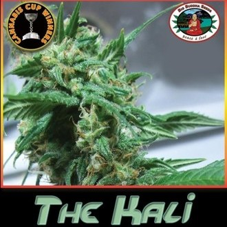 The Kali (Big Buddha Seeds) femminizzato