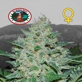 Freeze Cheese ´89 (Big Buddha Seeds) feminized