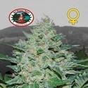 Freeze Cheese ´89 (Big Buddha Seeds) feminized