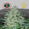 Freeze Cheese ´89 (Big Buddha Seeds) feminisiert