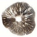 Impronta di Spore Psilocybe Cubensis Colorado