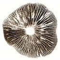 Impronta di Spore Psilocybe Cubensis Amazonian